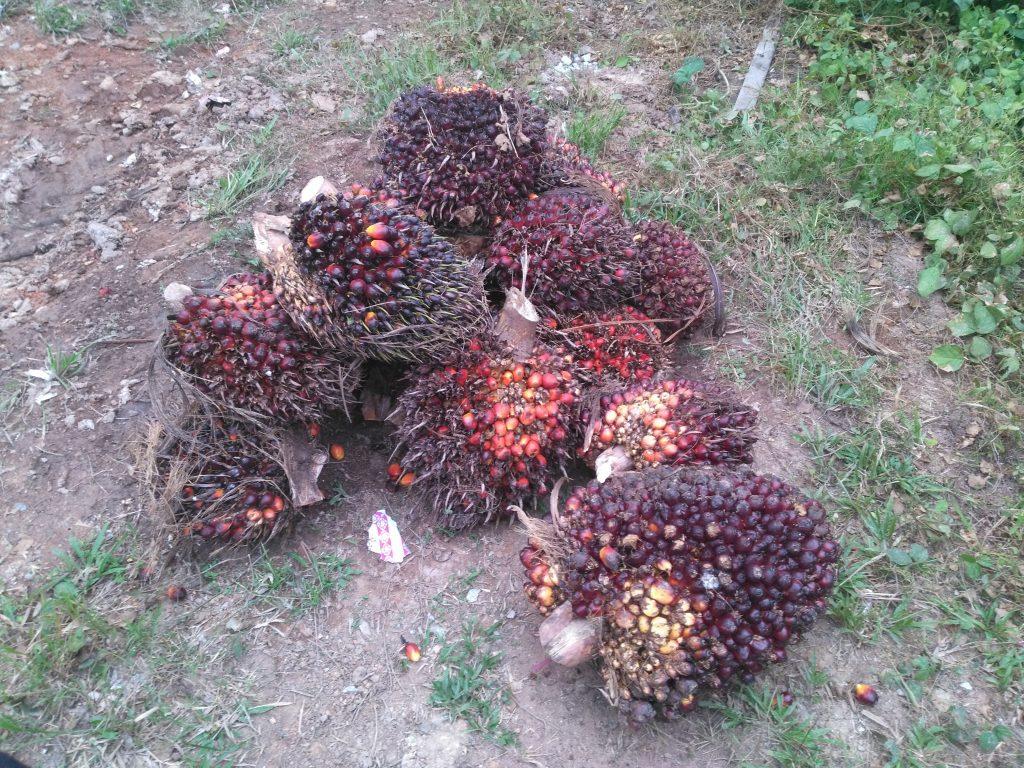 Les fruits du palmier desquels on extrait l'huile